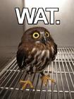 Y wat owl