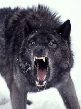 File:BLACK WOLF .jpg