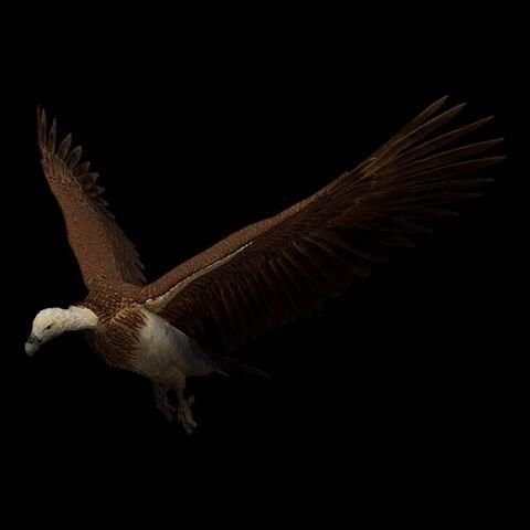 File:Griffon Vulture.jpg