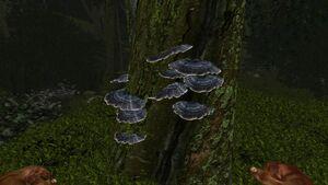 Grey shelf fungus