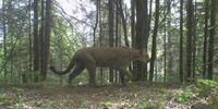 Michigan Cougar