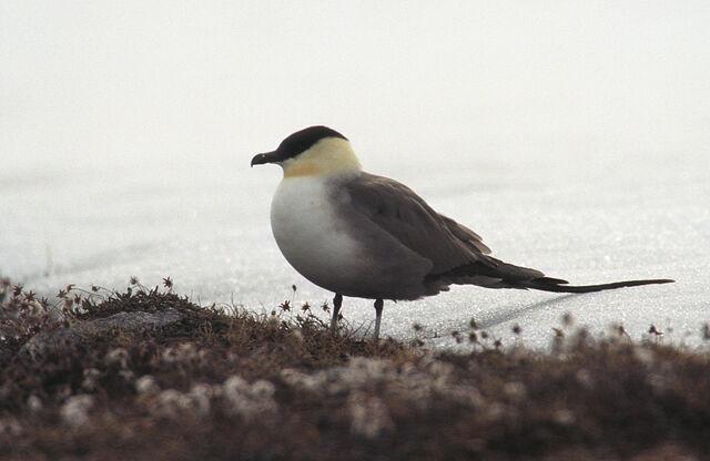 File:Long-tailed Skua.jpg