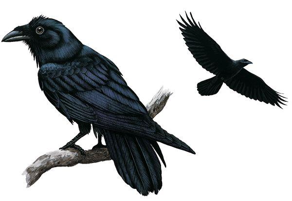 File:Cmn-raven-01 13588 600x450.jpg