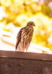 Royal Hawk 2