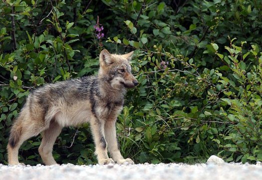 File:Wolfjuvenile.jpg