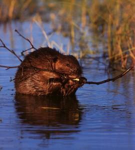 File:Beaver eating twig1-270x300.jpeg