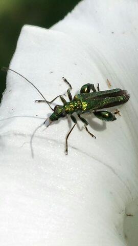 File:Stunning beetle.jpg