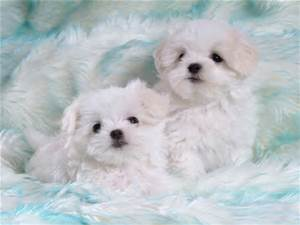 File:Some cute white puppies.jpg
