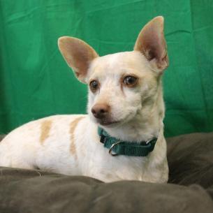 File:Sam the Chihuahua.jpg