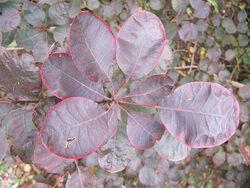 Cotinus coggygria 'Royal Purple'.jpg