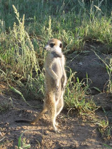 File:Panthera Xerus.jpg