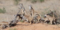 South Africa Meerkat Project