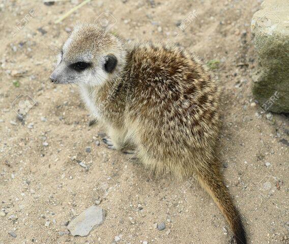 File:Жжis-a-daily-pospolite-Mongooses-wild-beast--Stock-Photo.jpg