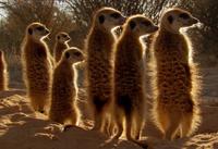 Gazelle Mob