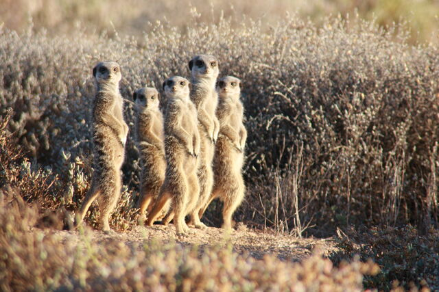 File:Meerkat Mob Image.JPG