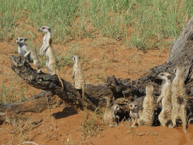 File:Cheetah Mob.jpg