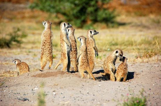 File:Meerkat-family.jpg