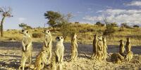 Meerkats As One