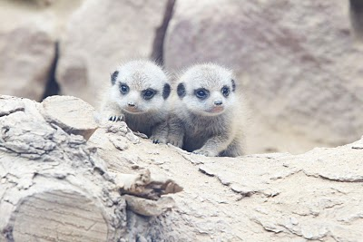 File:Albino meerkat pups.jpg