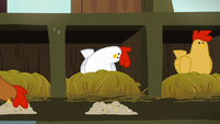White chicken looks at chicken feed inquisitively S6E10