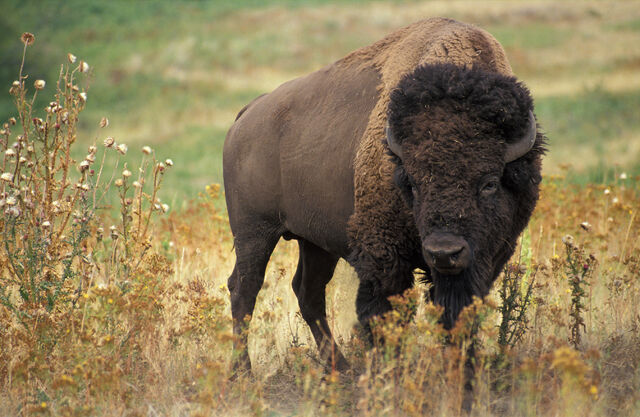 File:American bison k5680-1.jpg