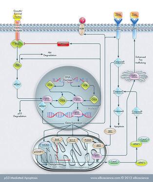 P53-mediated-apoptosis