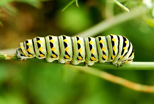 File:Lep black swallowtail caterpillar772 (2).JPG