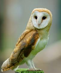 File:Barn owl photo.png