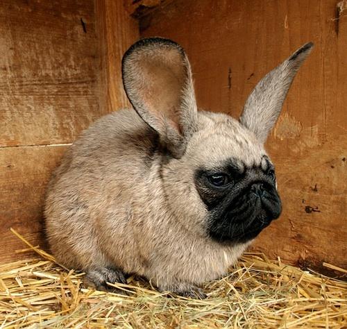 File:Pug bunny.jpg