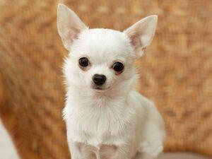 Chihuahua-puppies-2