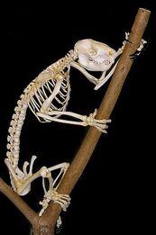 Drop Bear Skeleton