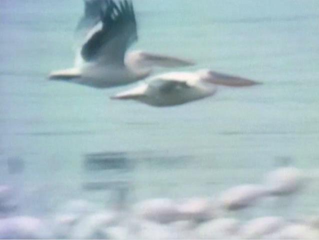 File:Pelicans.jpg