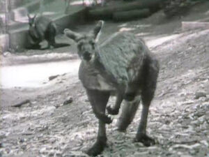 KangarooBlues