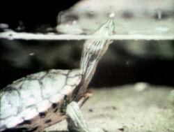 2529-Turtle
