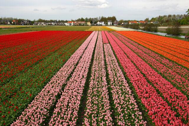 File:Holland tulips.jpg