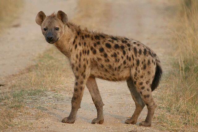 File:Hyena (1).jpg