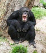 Chimp hooting@body2