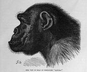 ChimpanzeeProfile