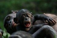 Bonobo-apes