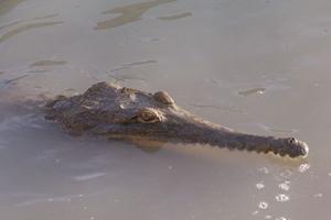 File:Crocodylus-johnstoni-2.jpg