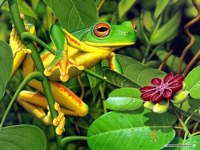 File:Frog-Wallpaper-frogs-7018060-1024-768.jpg