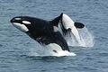 Killerwhales jumping.jpg
