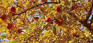File:Apple branches.jpg