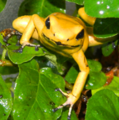 150px-Phyllobates terribilis climbing on leaves.png
