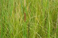 Grass and cattails