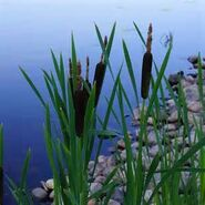 Cattails by a pond