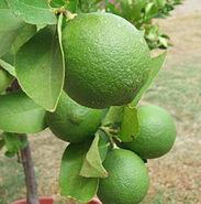 220px-Backyard limes