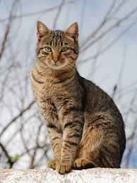File:Tabby Cat.jpg