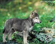 Imageswolf3