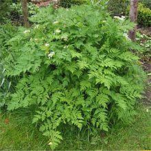 File:220px-Anthriscus cerefolium Kervel plant.jpg